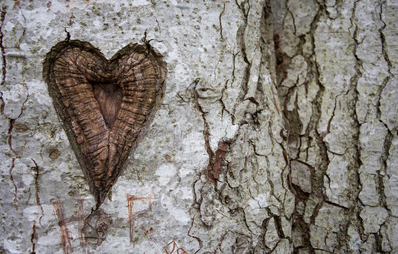 Heart in birch tree royalty free stock images