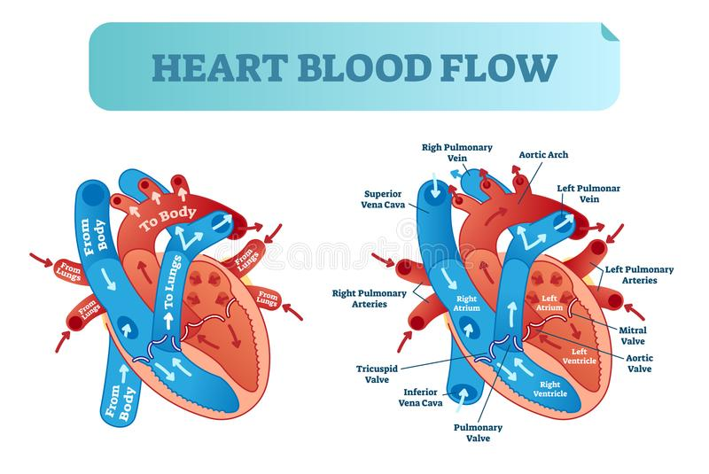 Heart blood flow circulation anatomical diagram with atrium and ventricle system. Vector illustration labeled medical poster. Heart blood flow anatomical stock illustration