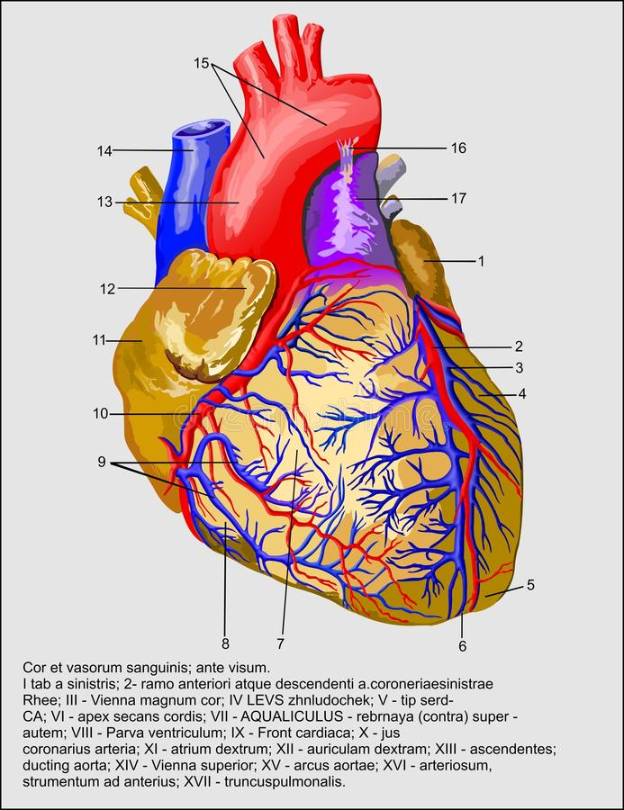 Heart and blood vessels stock illustration. Illustration of body ...