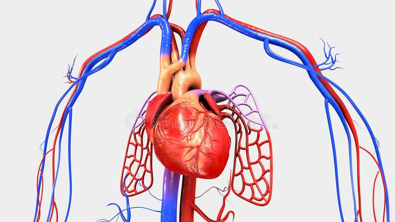 Heart with Circulatory System. The heart is a muscular organ about the size of a closed fist that functions as the body's circulatory pump. It takes in royalty free illustration