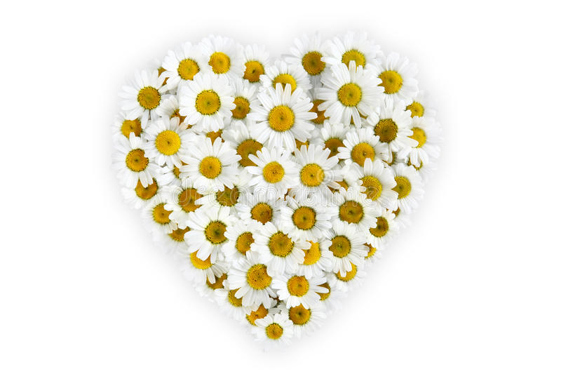 Heart of daisies flower on white background stock photos