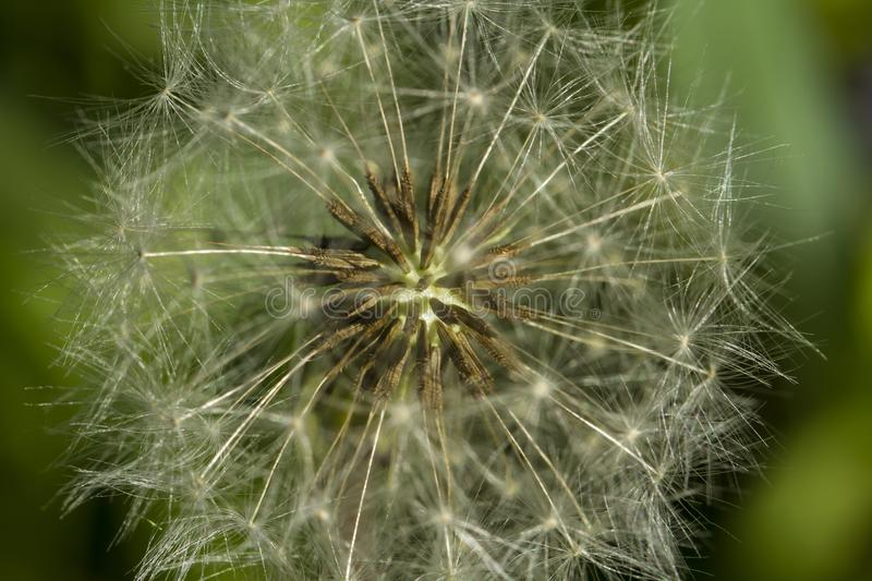 Heart of a dandelion. Summer flower structure. Dry seeds, flying umbrellas, geometry pattern, flower arrangement, closeup of nature, natural background, flying