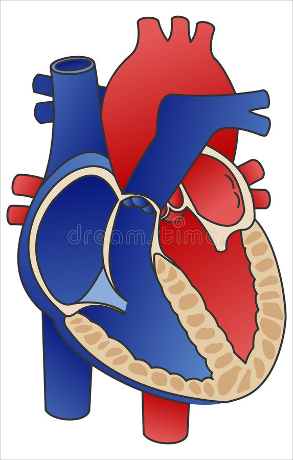 Heart diagram stock vector illustration of vector cardiovascular heart diagram ccuart Choice Image