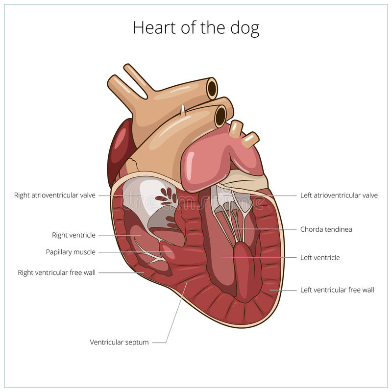 Heart Of A Dog Vector Illustration Stock Vector - Illustration of ...