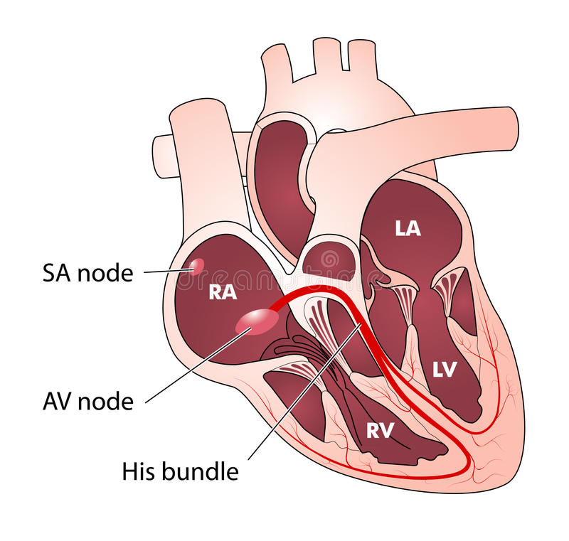 Heart electrical conduction stock illustration
