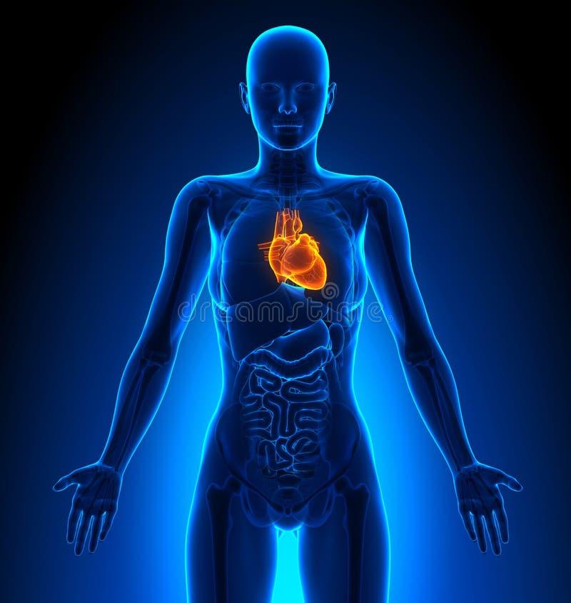 Heart Female Organs Human Anatomy Stock Illustration