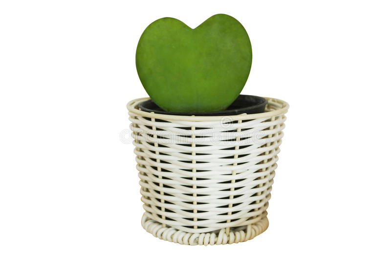 Heart form of cactus plant in pot stock image