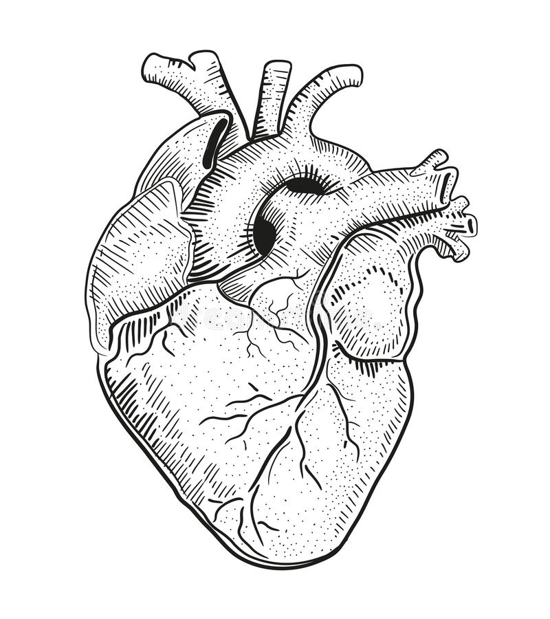 Heart a. Hand drawn vector illustration or drawing of a human heart vector illustration
