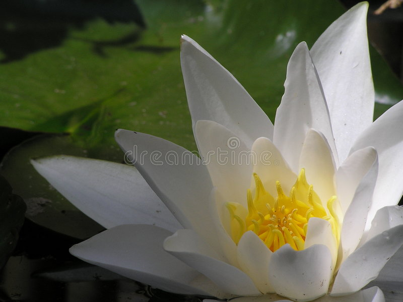 Download Heart of hte waterlilly stock image. Image of summer, flower - 173055