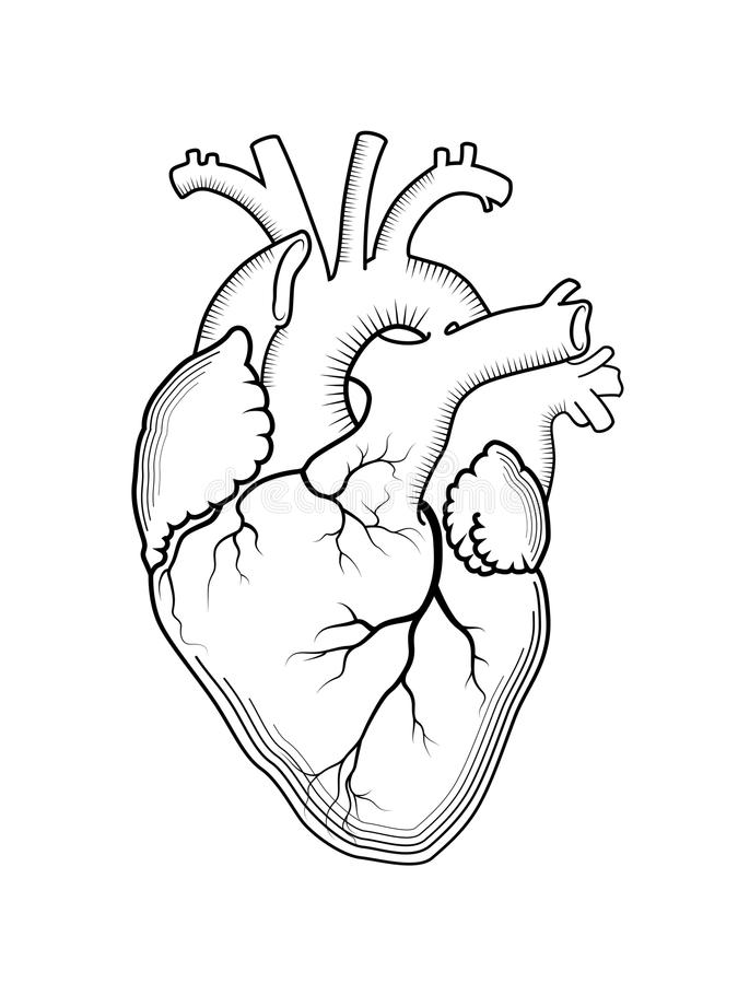 Heart. The internal human organ, anatomical structure. stock illustration