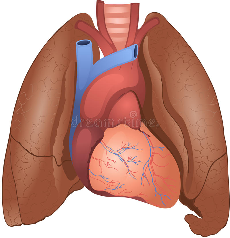 Heart and lungs stock illustration