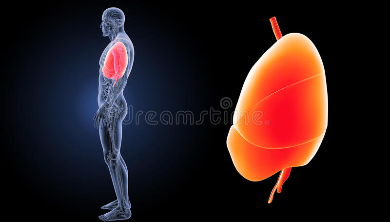 Heart, Lungs And Diaphragm Zoom With Anatomy Lateral View Stock ...