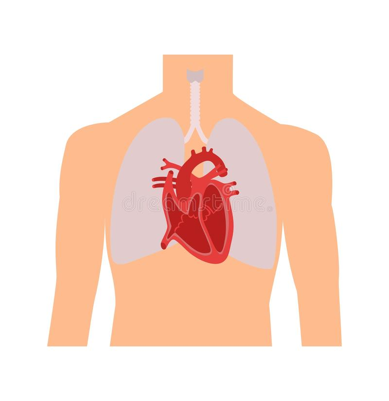 Heart and lungs. Internal organs in a male human body. Anatomy of people.Part of the human heart. Anatomy. Diastole and systole.Fi stock illustration