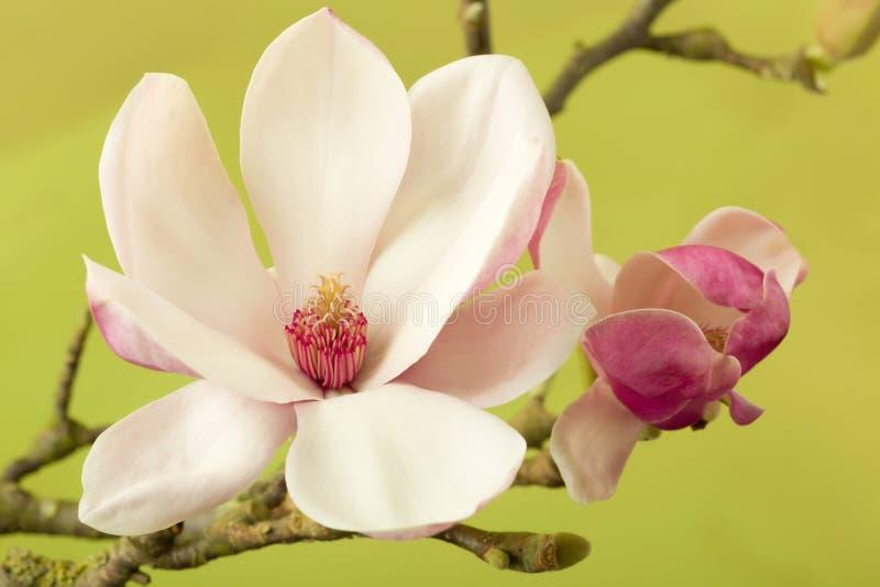 Heart of a magnolia stock photos