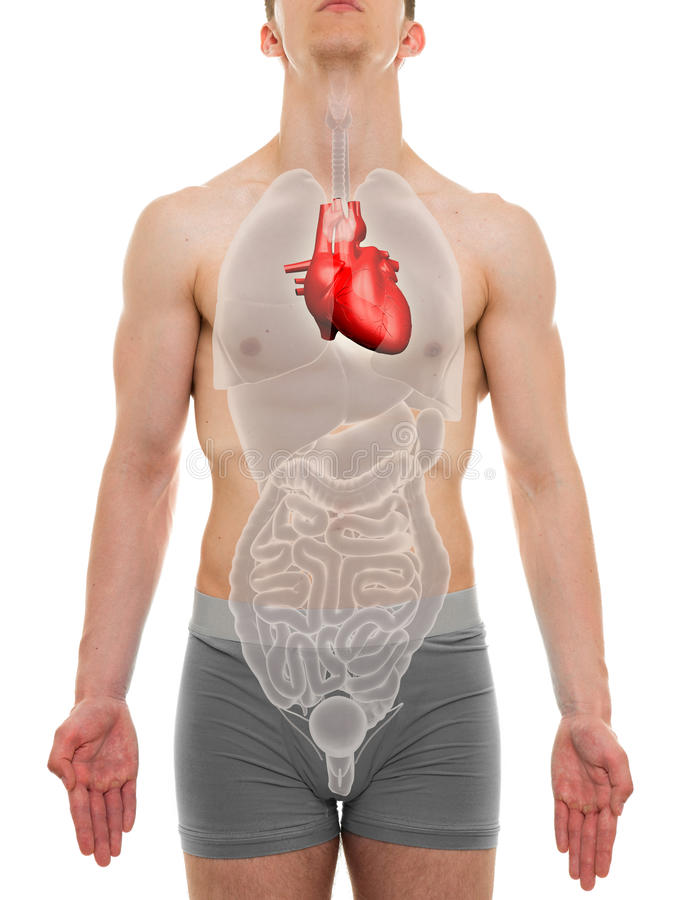 Heart Male - Internal Organs Anatomy - 3D illustration royalty free stock photos