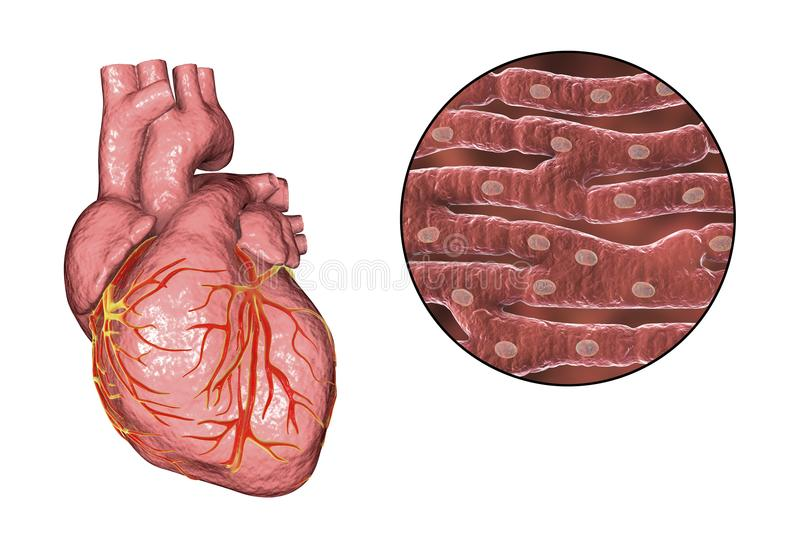 Heart muscle structure. Human heart and close-up view of cardiac muscle structure, 3D illustration vector illustration