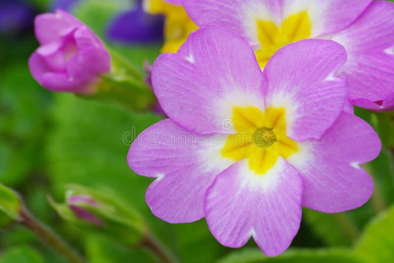 Download Heart of primrose stock image. Image of garden, pink, flower - 9873227