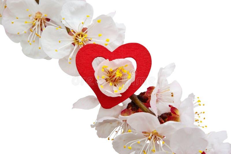 Download Heart On Sakura Royalty Free Stock Image - Image: 14453736