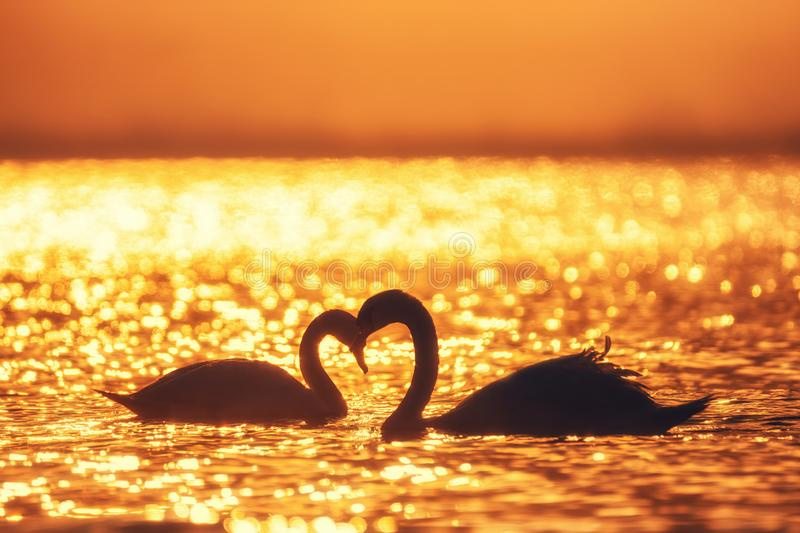 Heart shape of white swans in the sea stock photography