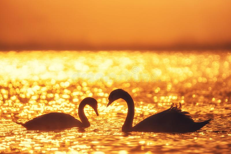 Heart shape of white swans in the sea royalty free stock images