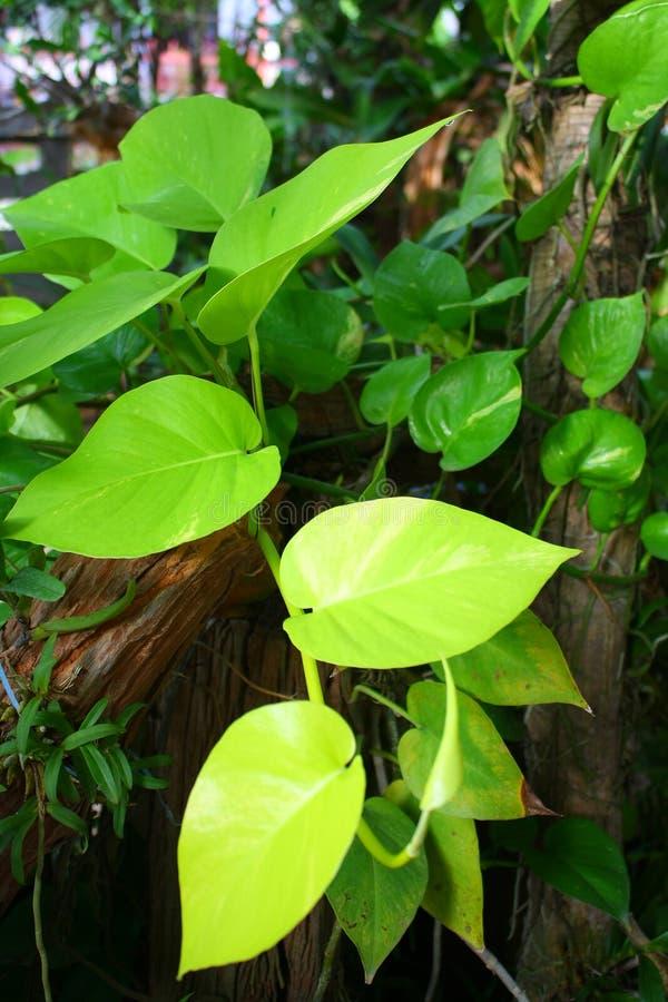 Heart-shaped Blätter stockfoto