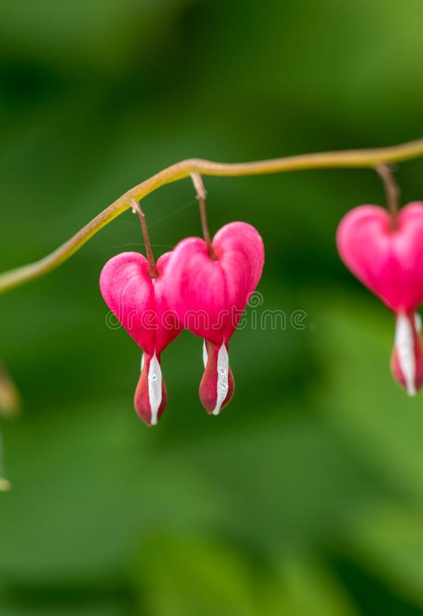 Heart-shaped Bleeding heart flower in pink and white color. stock images