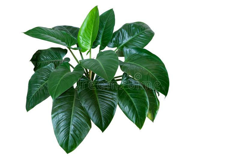"Heart shaped dark green leaves of philodendron ""Emerald Green"" tropical foliage plant bush isolated on white background, royalty free stock photos"