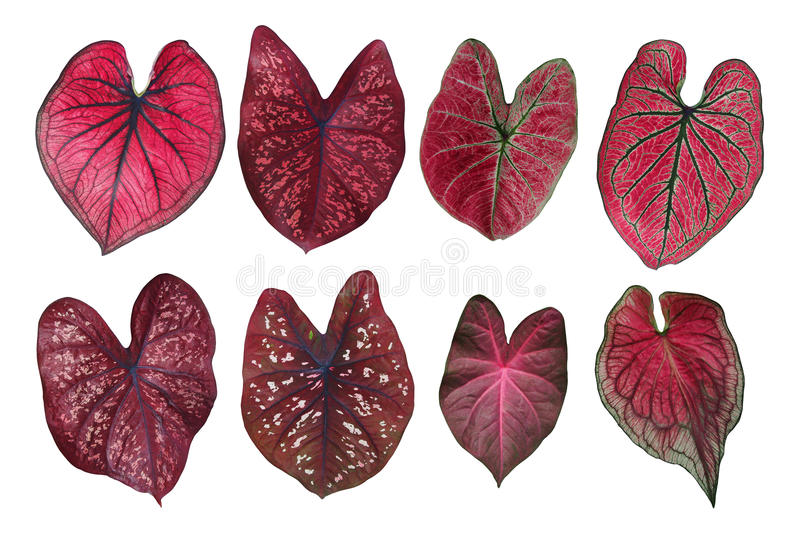 Heart shaped fancy leafed Caladium red collection, the tropical. Foliage plant leaves isolated on white background, clipping path included royalty free stock photography
