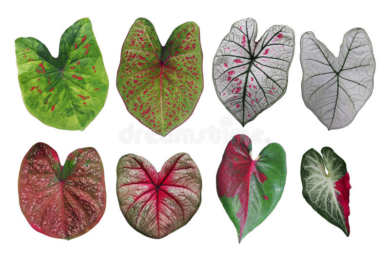 Heart shaped fancy leafed Caladium variegated collection, the tr royalty free stock images