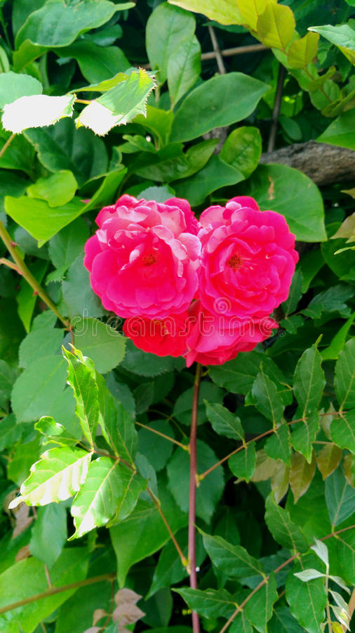 Heart-shaped flower royalty free stock image