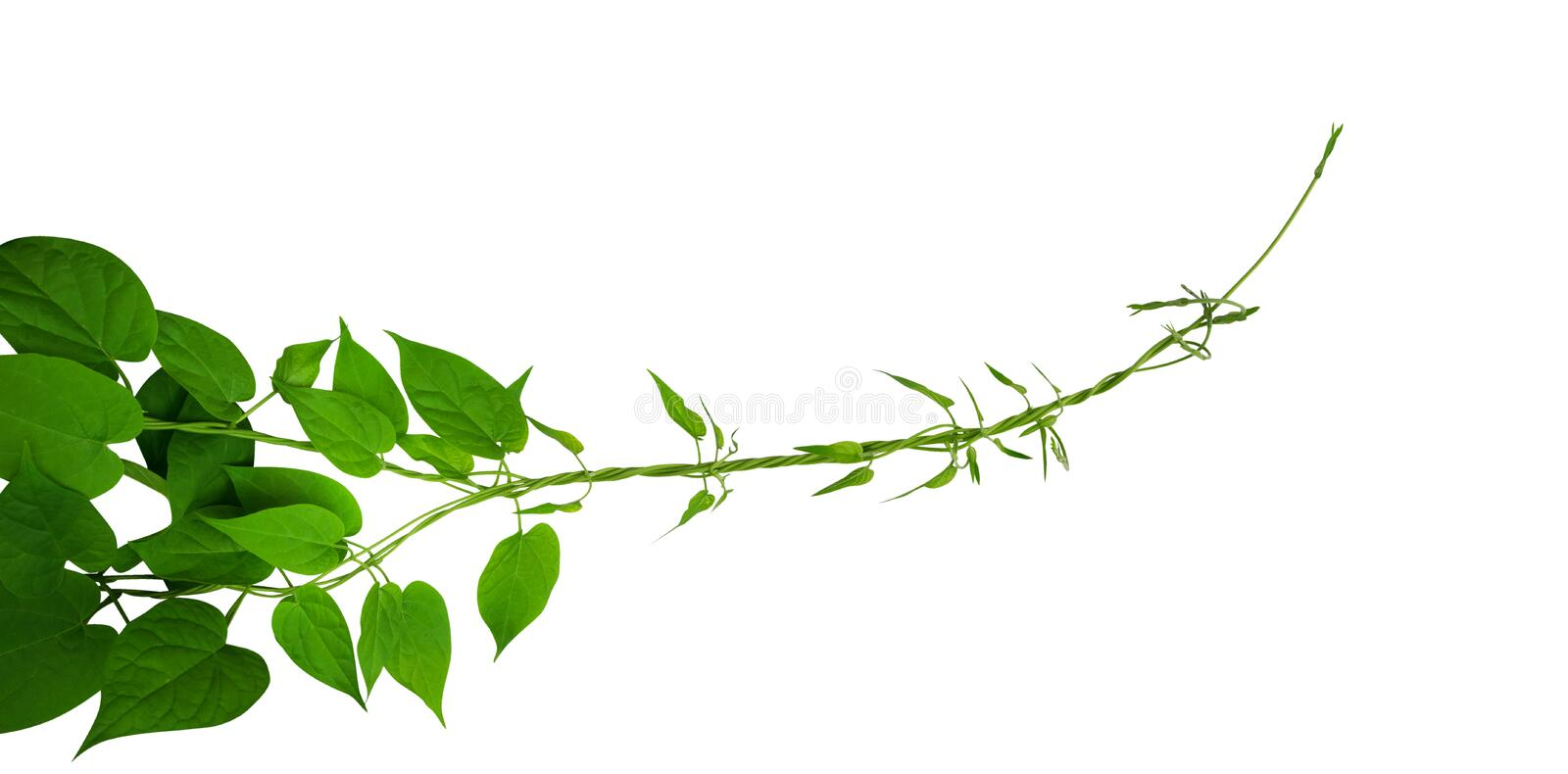 Heart shaped green leaf climbing vines isolated on white background download heart shaped green leaf climbing vines isolated on white background path stock photo mightylinksfo