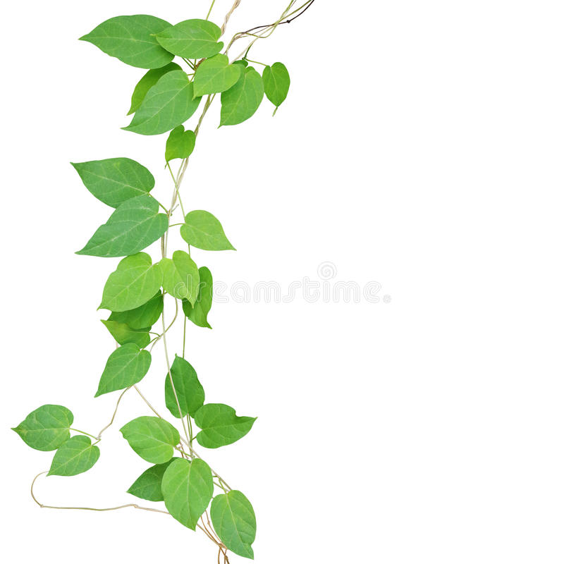Heart shaped green leaf climbling vines isolated on white background, clipping path included. Cowslip creeper the medicinal. Tropical plant growing in wild royalty free stock images