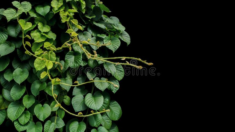 Heart shaped green leaf of jungle vines liana tropical rainforest plant bush growng in wild with hairy young leaves and tendrils. On black background stock images