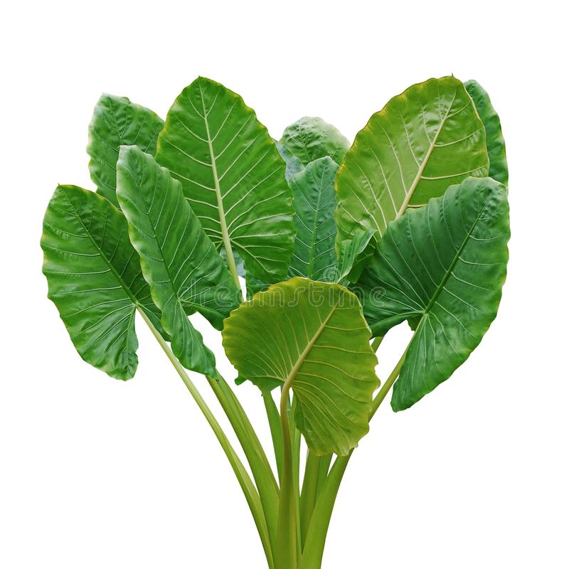 Heart shaped green leaves of Elephant Ear or Giant Taro Alocasia macrorrhizos, tropical rainforest plant bush isolated on white. Background with clipping path royalty free stock images