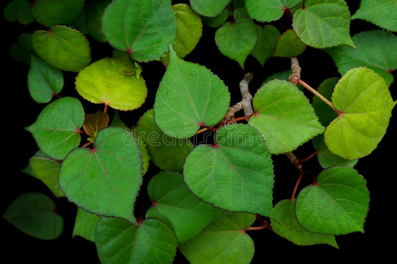 Heart shaped green leaves of sea hibiscus Hibiscus tiliaceus m royalty free stock photo