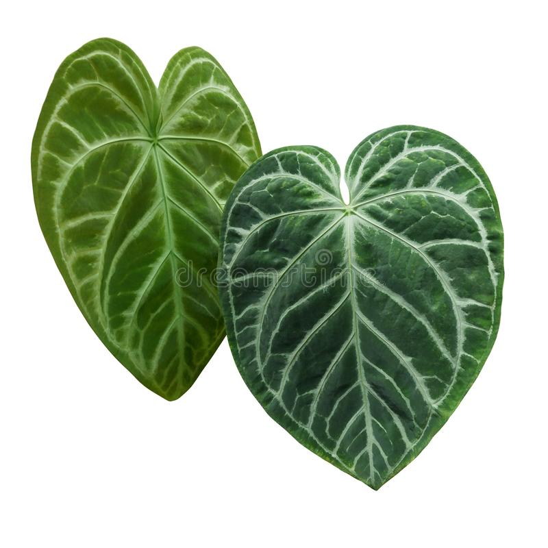 Heart-shaped green variegated leaves pattern of rare Anthurium plant the tropical foliage houseplant isolated on white background stock photography