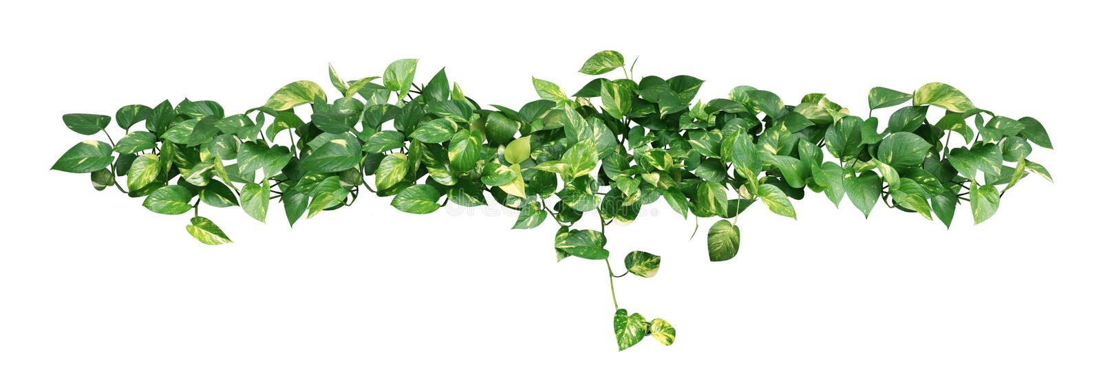 Heart shaped green yellow leaves of devil`s ivy isolated on white background, path stock photos