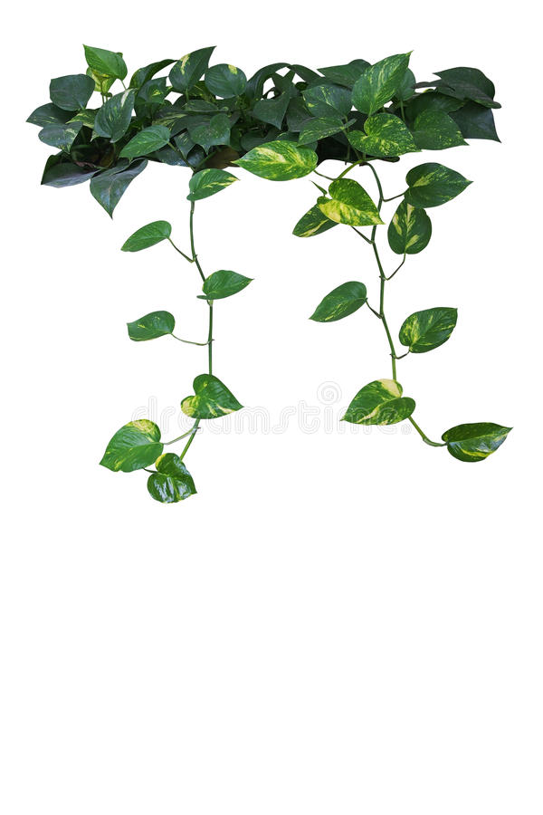 Free Heart Shaped Green Yellow Leaves Of Devil`s Ivy Or Golden Pothos Royalty Free Stock Photography - 92057837