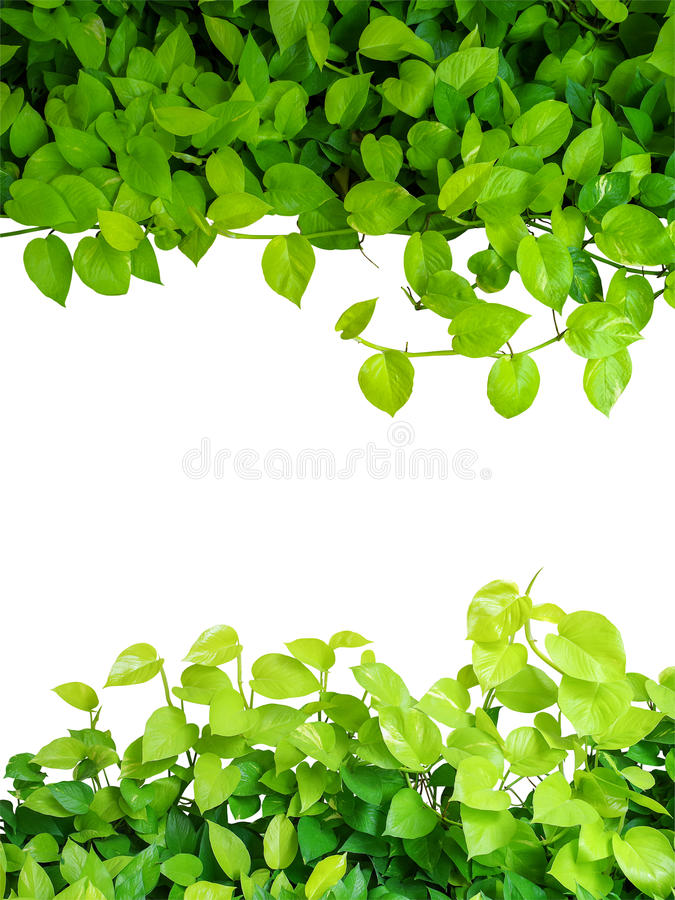 Free Heart Shaped Green Yellow Leaves Vine, Devil S Ivy, Golden Potho Royalty Free Stock Photography - 76854757