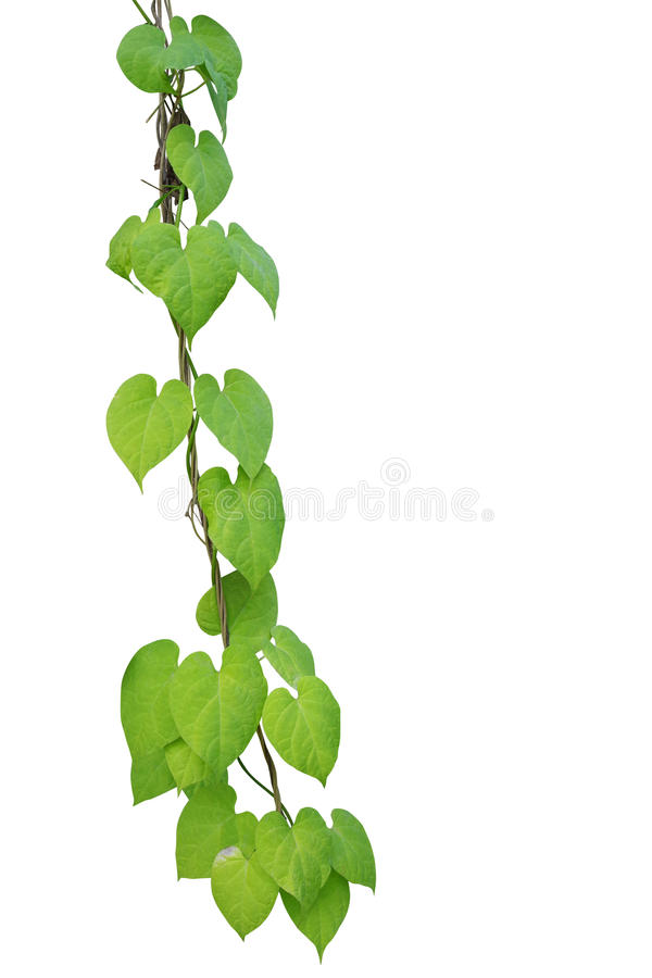 Heart shaped greenery leaf climbing vines on white back stock photo download heart shaped greenery leaf climbing vines on white back stock photo image of mightylinksfo