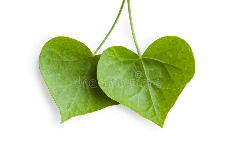 Heart-shaped ivy leaves. On white background royalty free stock photo