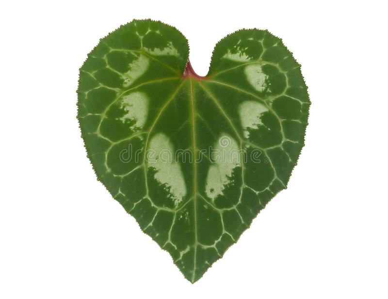Heart-Shaped Leaf. Closeup of heart-shaped Cyclamen's leaf isolated on white background. Light green veins are going through whole leaf's surface and forming royalty free stock images