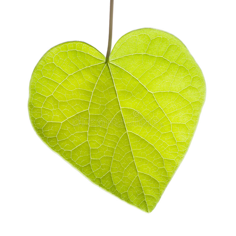 Download Heart Shaped Leaf On White Background Stock Photo - Image of nature, daytime: 30085654