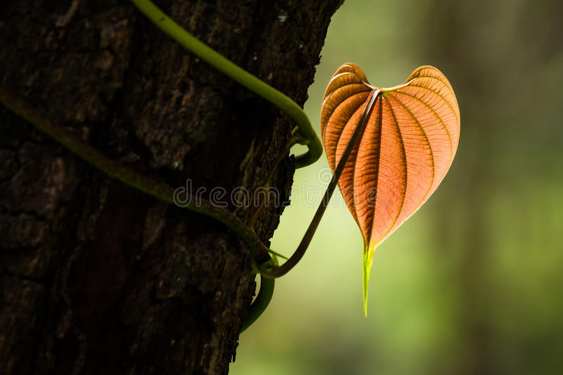 The heart shaped leaves royalty free stock photos