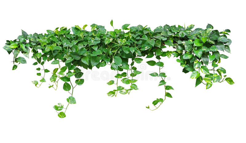 Heart shaped leaves vine, devil`s ivy, golden pothos, isolated o stock photography