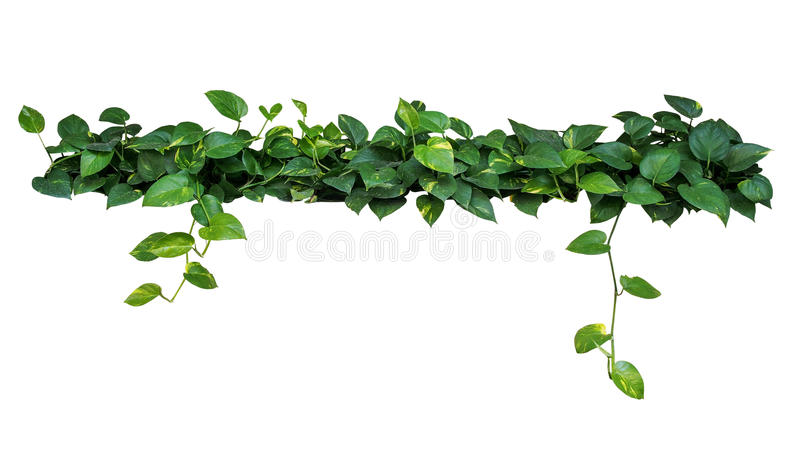 Heart shaped leaves vine, devil`s ivy, golden pothos, isolated o royalty free stock photos