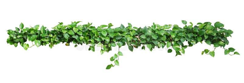 Heart shaped leaves vine, devil's ivy, golden pothos, isolated o stock photos