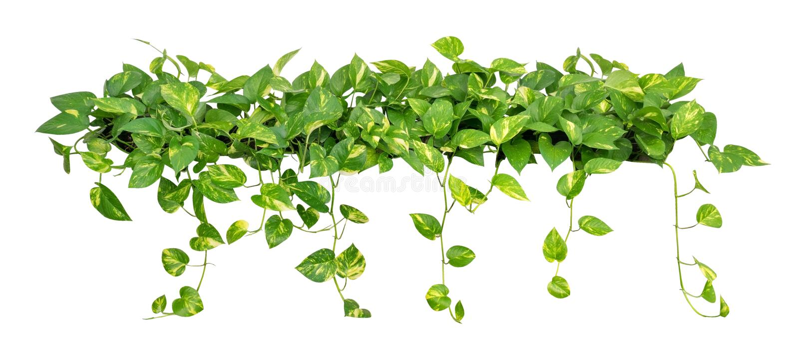 Heart shaped leaves vine golden pothos isolated on white background download heart shaped leaves vine golden pothos isolated on white background path stock photo mightylinksfo