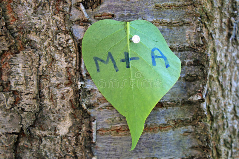 Heart shaped love leaf on tree stock image