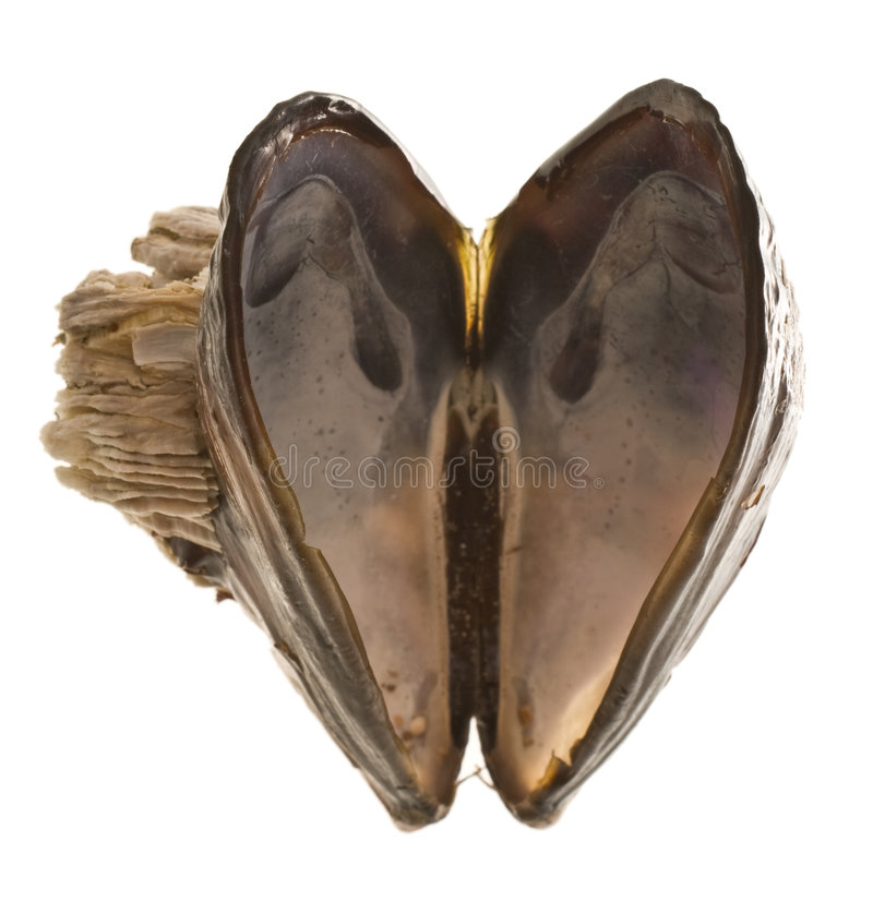 Free Heart Shaped Mussel Shell Stock Photography - 5230702